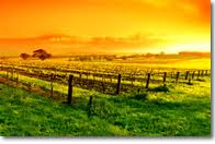 SUNRISE VINEYARD