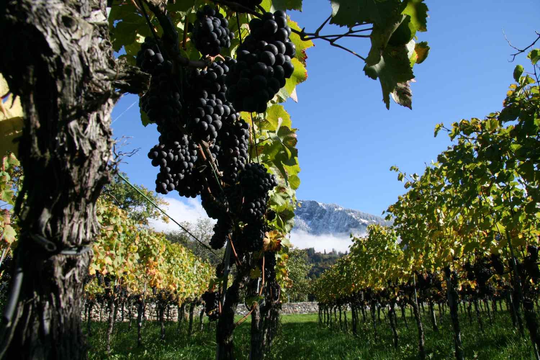 PN Vineyard