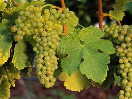roussanne grapes