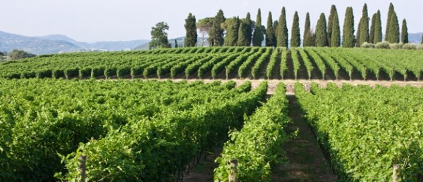 bolgheri vineyard