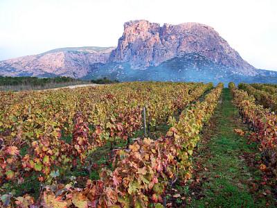 vineyard in Corsica 1