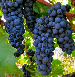 Lodi Zinfandel grapes