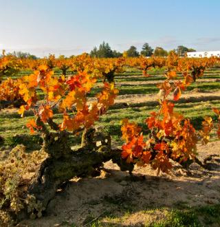 Lodi Zinfandel vines