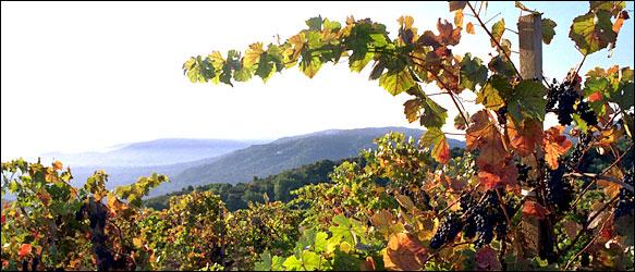 Vineyard at Mt Eden
