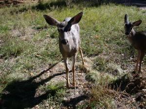 Ron's Pictures 012.deer