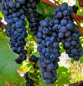 Lodi Zinfandel grapes