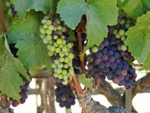 grape to glass rrv3