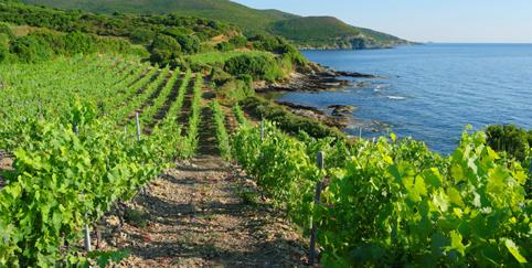 corsica vineyard