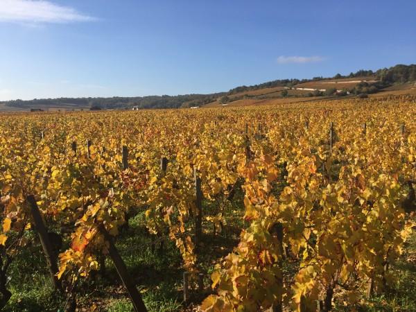 burgundy vineyard 2016